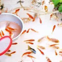 【初心者向け】金魚すくいのコツを解説しているサイト5選 ~まずは理論。次に実践~